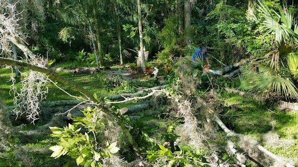 sawing a fallen tree