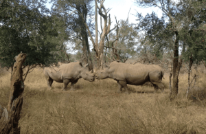Walking with Rhino Jenny Bowen