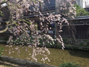 Cherry blossom resized