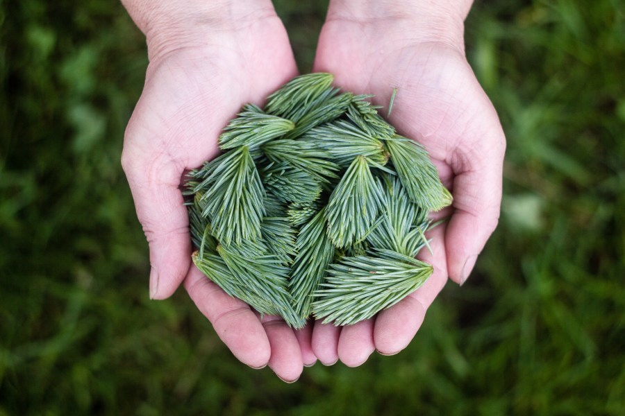 Hands holding pine leaves