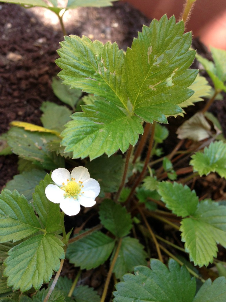 single flower on a strawberry plant