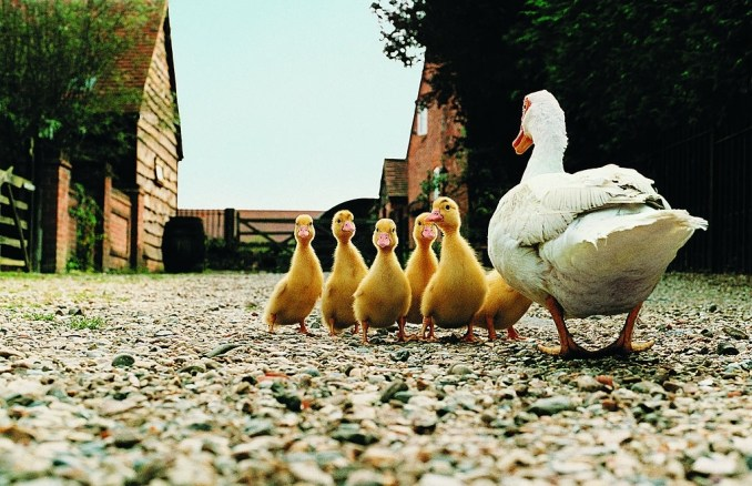 Duck - Golden Egg