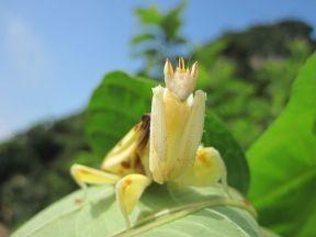 orchid-mantis-8