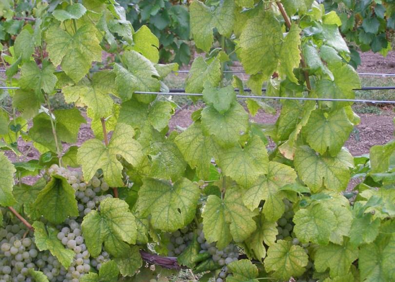 nitrogen-deficiency-viticulture