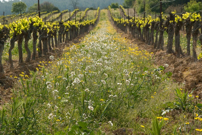 cover-crop-viticulture