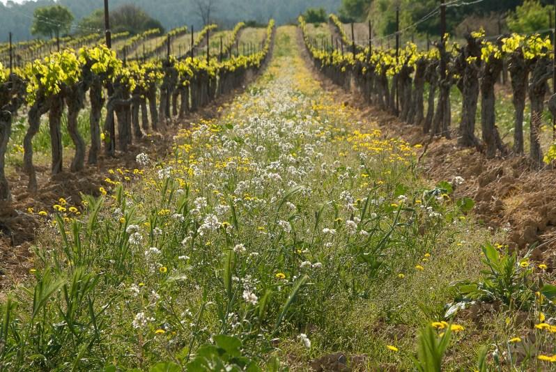 cover-crop-viticulture