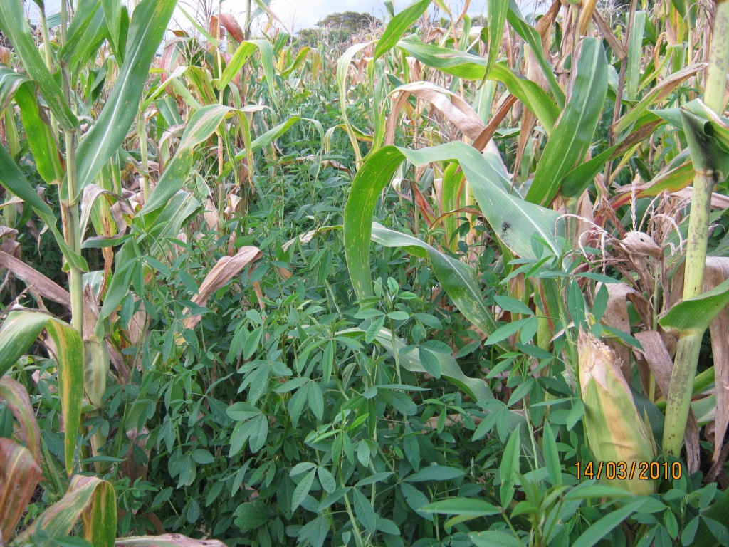 The Challenges and Some Answers to Maize Cropping in Zambia