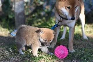 母親と遊ぶ柴犬の子犬の写真
