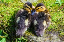 duckling-219822_1280 - kopia