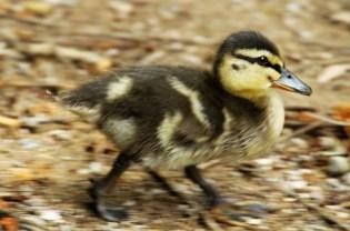 duckling-288550_1920 - kopia