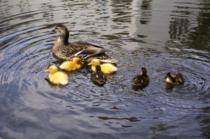 ducklings-635110_1280 - kopia