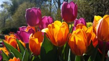 tulips-730324_1920