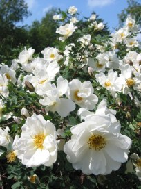 midsummer-roses-1343571_1280