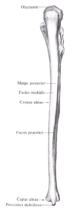 ЛУЧЕВАЯ КОСТЬ - что такое в Атласе анатомии человека
