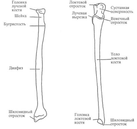 ЛУЧЕВАЯ КОСТЬ (RADIUS) - что такое в Атласе анатомии человека