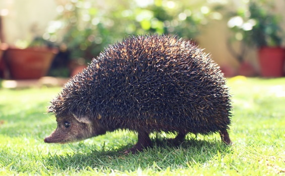 No elegance in this hedgehog:  The Life of Elves