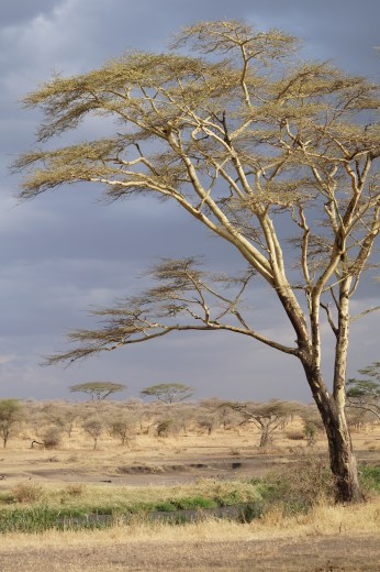 Serengeti tree.