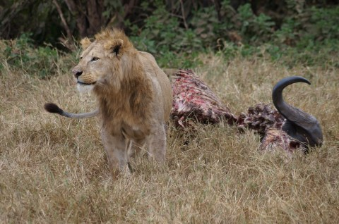 Lion and carcass.