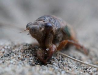 Cicada, front
