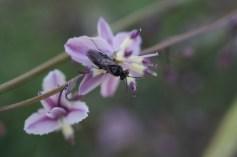 Vanilla lily (Arthropodium milleflorum)