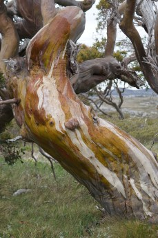 Snow gum, partly painted with water