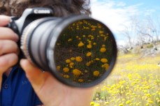 Meta-photo of a photographer and Billy Buttons (Craspedia)