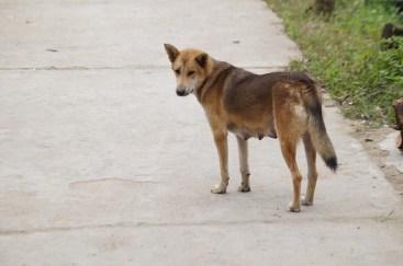 Dingo like dog, Cat Ba
