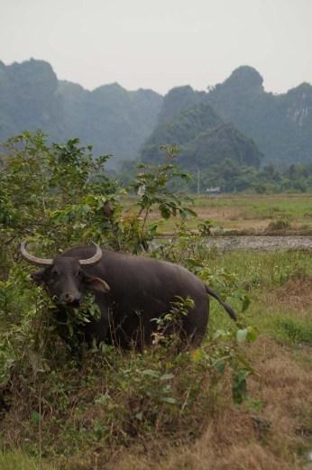Water Buffalo on Cat Ba