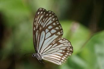 Butterfly, Cat Ba