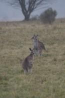 Kangaroos in the fog, Cooleman