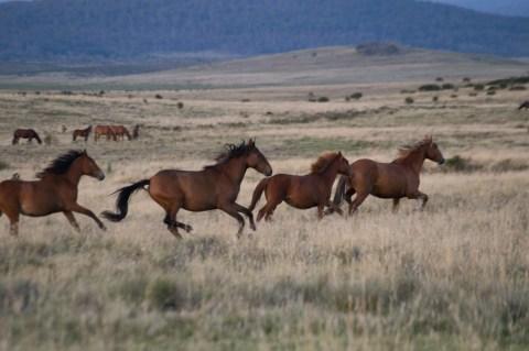 Curious herd running, Currango