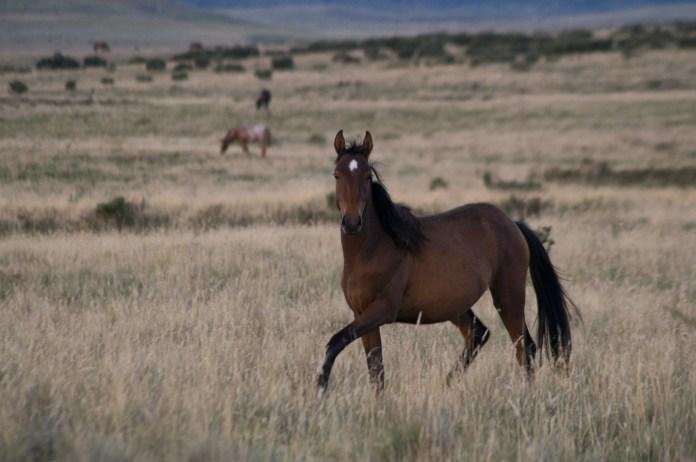 Curious herd bay mare, Currango