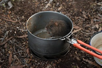 Lake Judd Swamp Rat (Rattus lutreolus) helps with dishes