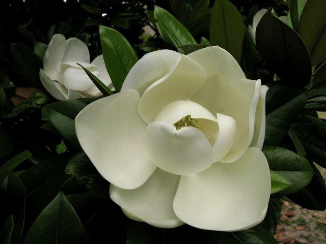 Magnolia-flower-4000px