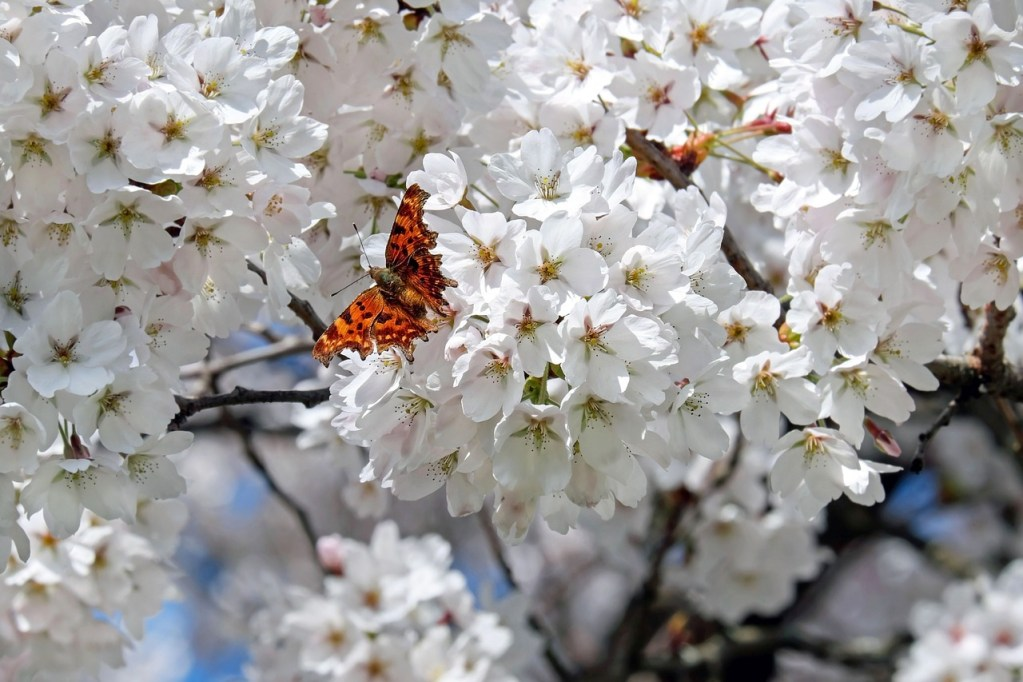japanese cherry trees, flowers, white