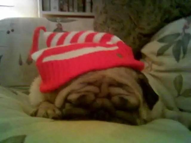 My dearly departed pug, Igor, celebrating Christmas a few years ago.