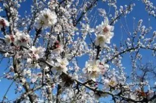 Almond_orchards_trees_248628_l