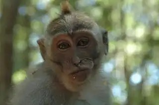 Bali_indonesia_monkey_633954_l