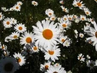 Flowers_daisy_daisies_249172_l