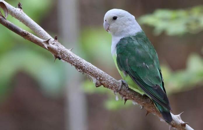 burung Lovebird Madagaskar