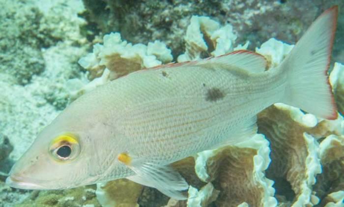 Ikan kakap Lutjanus Mahogony