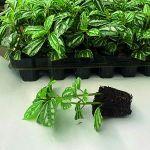 Как сделать красивое комнатное растение из черенков?