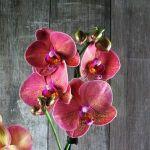 Фаленопсис: уход за орхидеей Phalaenopsis