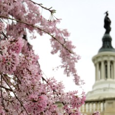 U.S. Capitol and cherry blossoms