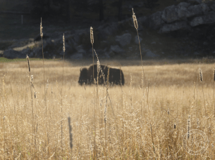buffalo in grassy distance