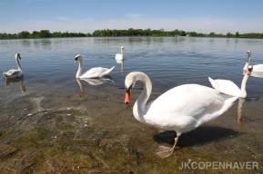 German Swans