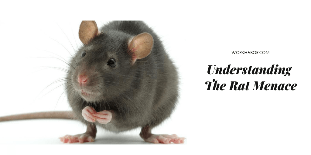 Understanding The Rat Menace