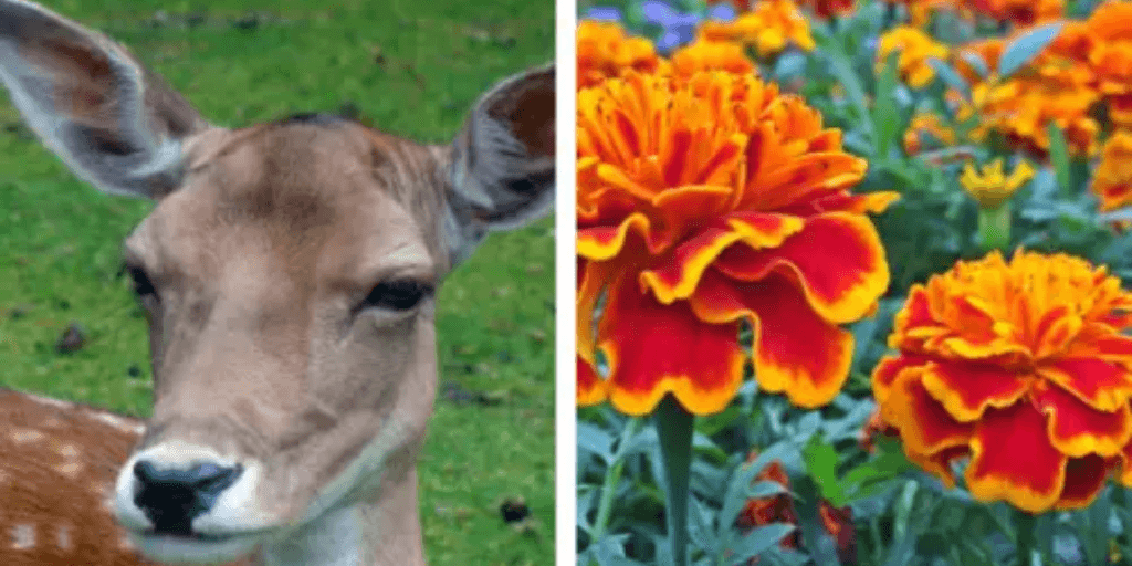 Do Deer Eat Marigolds?