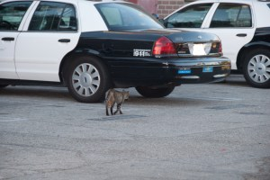 A Working Cat at the Los Angeles Police Department. Photograph courtesy of David Newey.