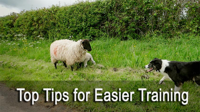 Top tips for easier cattle and sheep dog training